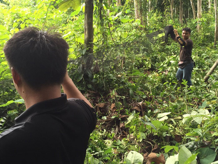 Preventing zoonotic spillover events - setting bat traps in the forest, Sabah