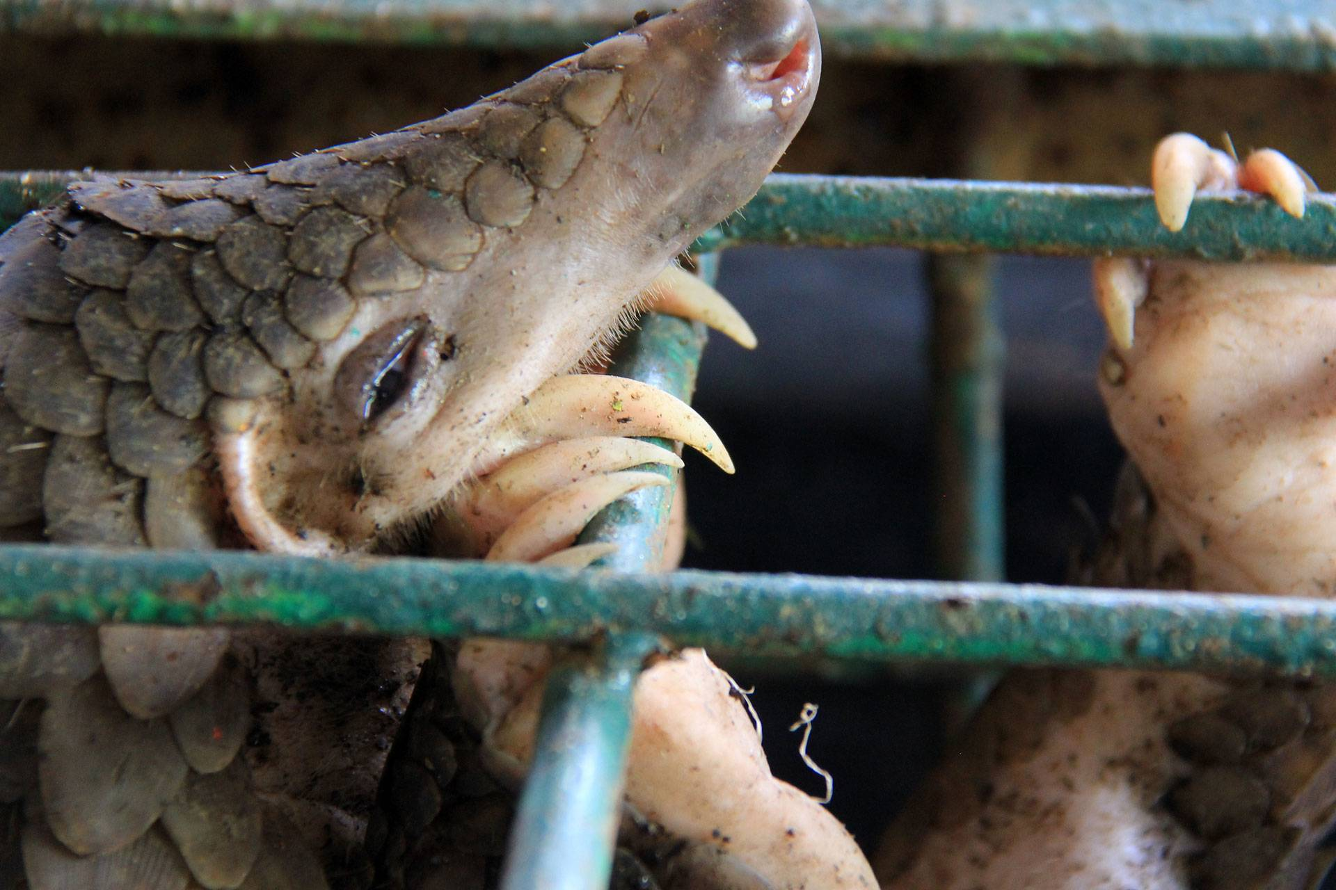 Pangolins are not the source of COVID-19