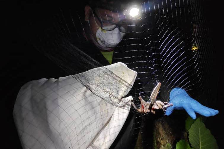 A bat is caught in the Kuamas Forest Reserve during the Deep Forest Project. The animals were sampled for potential viruses before being released back into the forest.